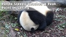 Panda Sleepy Reaches A Peak Point In Spring | iPanda