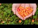 В Югре морошку будут выращивать в промышленных масштабах