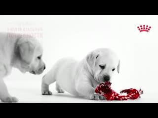 Puppy_lab_19_
