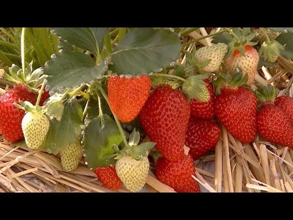 Клубника круглый год краснодарский фермер собирает новый урожай