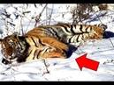 Тигрица из последних сил вышла к людям за помощью финал поражает