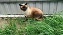 Тайский кот Оскар на прогулке в сильный ветер Тайские кошки это чудо Funny Cats