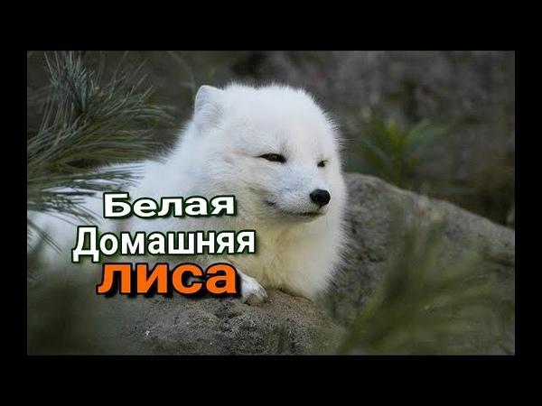 Лиса Снежного Барса