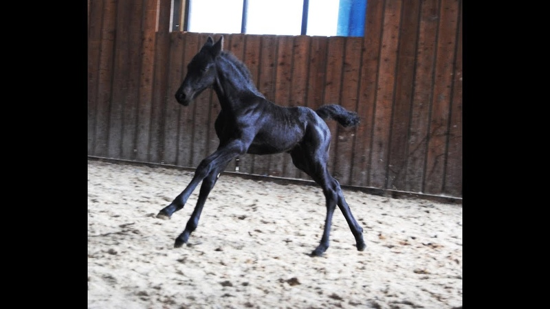 10 days old Friesian horse filly Jildou at the inside arena, so cute.....