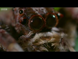 Portia spider from bbc's the hunt
