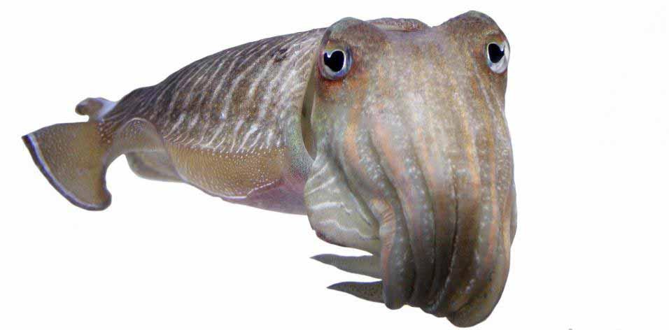 Чернила, полученные из каракатицы, которая представляет собой морского моллюска, могут облегчить некоторые симптомы ПМС.