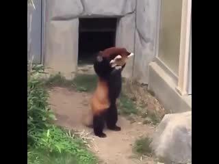 красная панда быкует