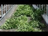 Как легализация марихуаны изменит жизнь израильтян Дискуссия на RTVI