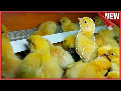 Суточные Цыплята Перепелята Породы Техас Первое знакомство