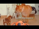 AMGERY daddo - the return Ep04 / Shiba Inu puppies with captions