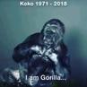 Mehmet Günsür on Instagram Repost @ ・・・ Koko the gorilla's message to humanity Her instructor and caregiver Francine Patte