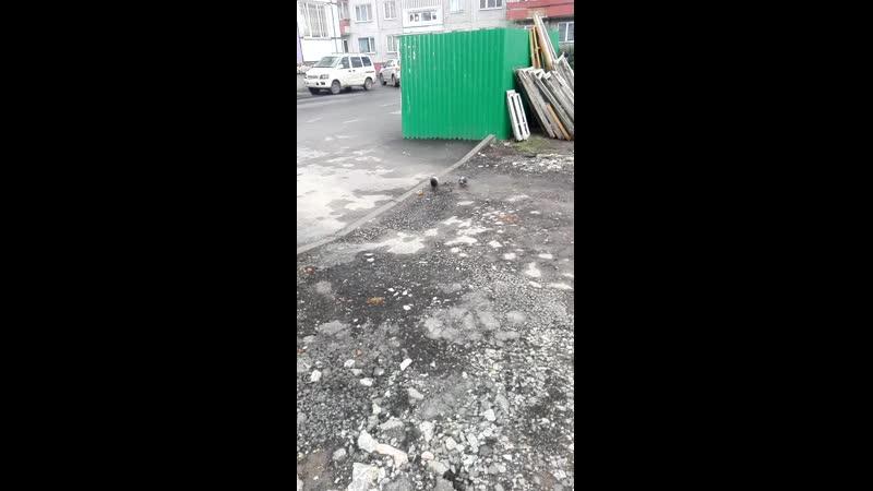 голуби быкуют