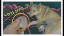 Лайка, Собака рожает щенков / Первые роды и Беременность собаки