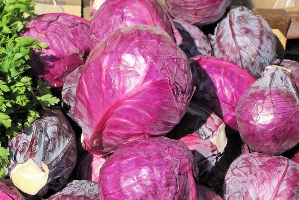 Особенности выращивания краснокочанной капусты Краснокочанная капуста по происхождению близка к белокочанной капусте, она отличается наличием антоциана (фиолетового пигмента), большим