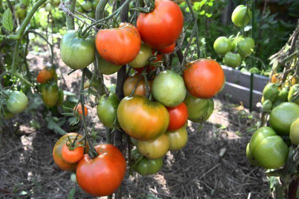 Всем желающим открывать для себя новое, есть очень интересный сорт  томат «Кипарис». Он удивит вас не только внешним видом, его можно принять за декоративное растение, но и очень высокой урожайностью.