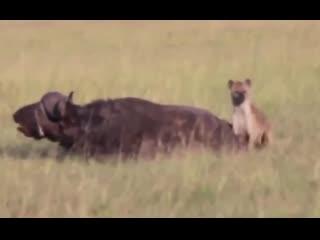 Hunting hyenas on a buffalo