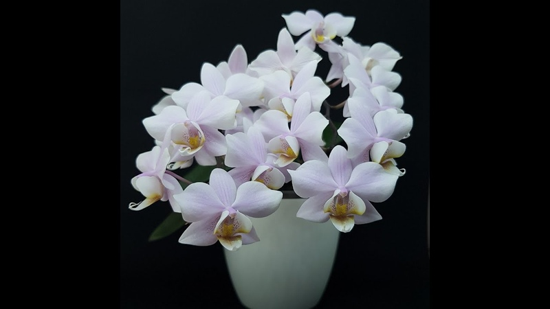 Phalaenopsis Pinlong Cherry