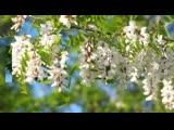 Белой акации гроздья душистые - Людмила Сенчина