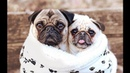 Funniest and Cutest Pug Dog Video Compilation 24