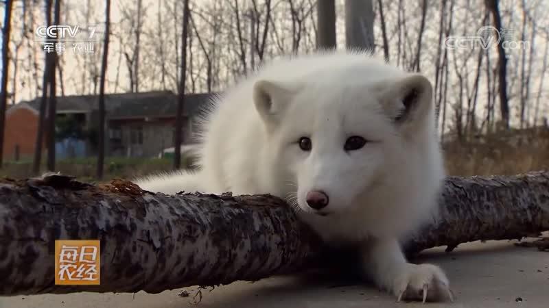 Как собака но не собака Сян Гоу БуШи Гоу Как волк но не волк Сян Лан БуШи Лан Песец БэйЦзи Ху арк