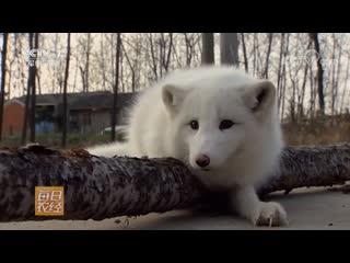 Как собака - (но) не собака ''Сян Гоу - БуШи Гоу''... Как волк - (но) не волк ''Сян Лан - БуШи Лан''... Песец ''БэйЦзи Ху'' (арк