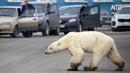 Полярный медведь забрёл в Норильск животное истощено