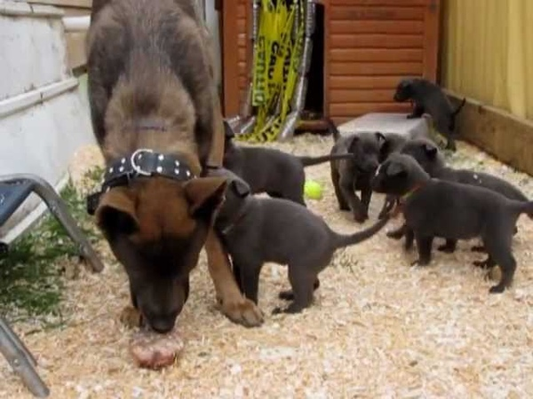 Blue Dutch Shepherd Pups meet Crush