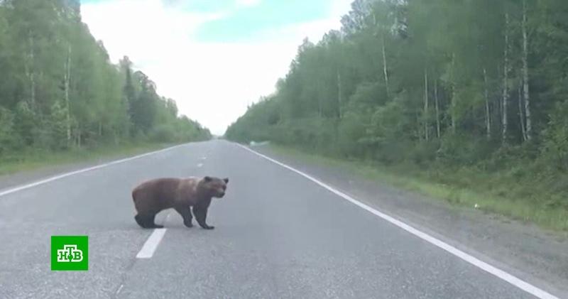 Медведицу с медвежатами встретили водители на трассе в Свердловской области