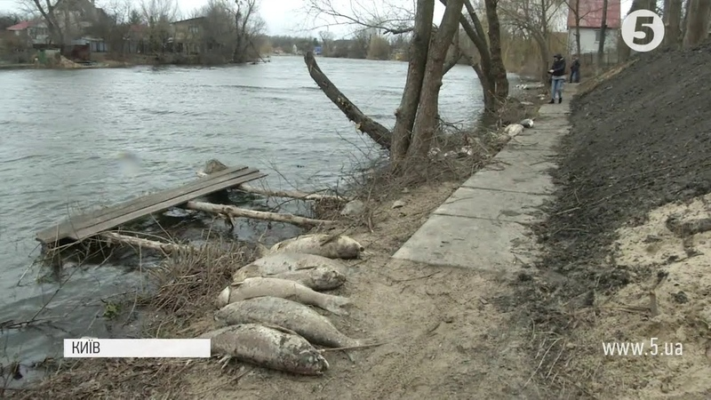 Масова загибель риби на березі Русанівського каналу
