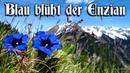 Blau blüht der Enzian ✠ [German folk song][ english translation]