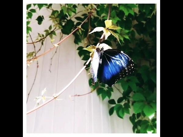 Тропическая бабочка Голубой Морфо morpho peleides