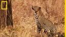 Ce léopard grimpe à plus de 10 mètres pour chasser