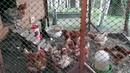 Куры несушки на даче. Сколько яиц несут куры несушки?