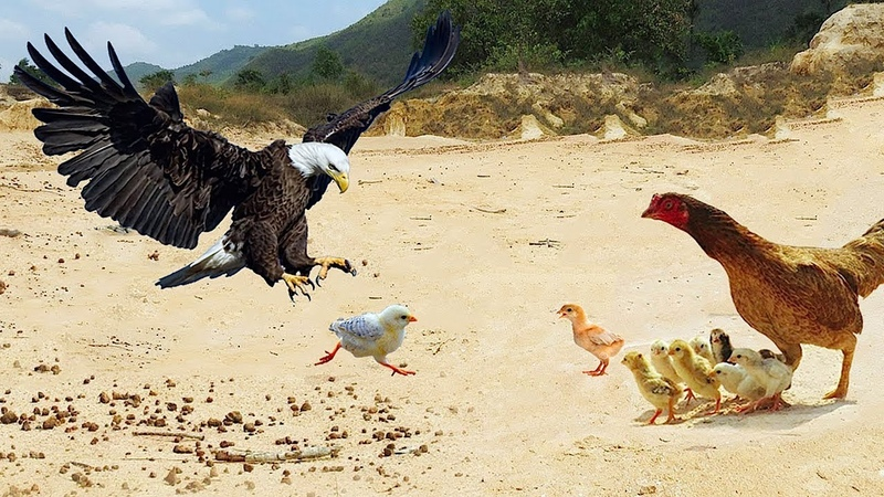 Real Eagle Attack Chicken Home Brave Hen's Mother Protect and Save Her Baby Chickens From Eagle