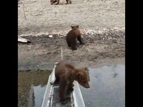 Любопытные сорванцы медвежата на Аляске