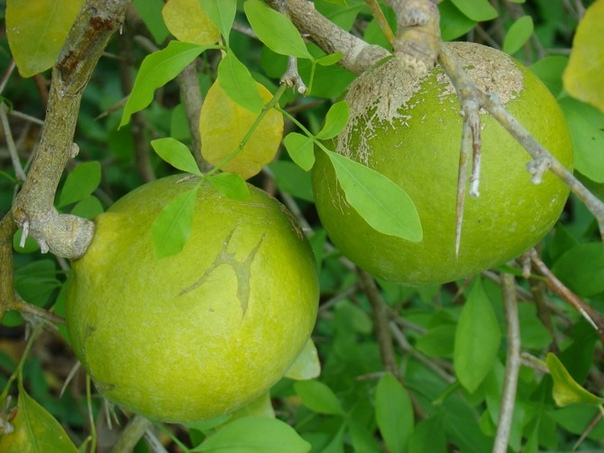 Баиль матум Плоды этого дерева имеют целебные свойства и являются лекарством в странах на юго-востоке Азии. Они очень полезны, может быть, именно поэтому их используют в буддистских религиозных