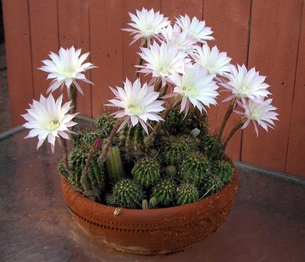 Эхинопсис Эхинопсис (Echinopsis) является представителем семейства Кактусовые (Cactaceae). В природе оно встречаются в Боливии, Парагвае, Аргентине, Бразилии, а также в Уругвае. Наименование