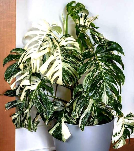 Монстера Монстера (Monstera deliciosa) является одним из самых впечатляющих и давно известных в цветоводстве растением. В природе представляет собой мощную лиану, произрастающую в тропических