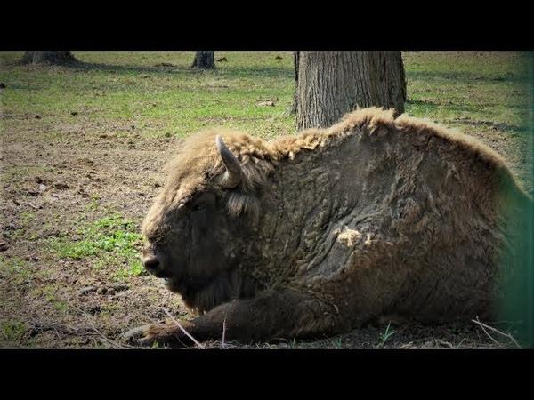 Зубры и бизоны Приокско-Террасный заповедник