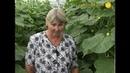 Слово агроному об огурцах: ни вредителей, ни корневых гнилей не будет!