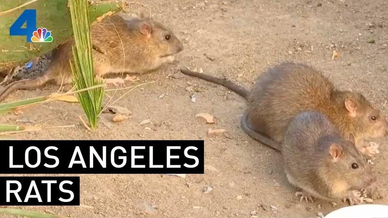Rat Population Keeps Growing in Los Angeles NBCLA