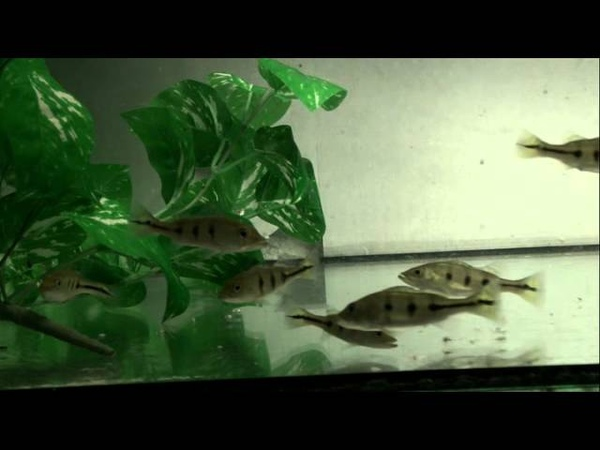 Cichla Kelberi Feeding Frozen Fish