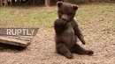 Russia: Abandoned bear cubs find new home in Tver wildlife centre
