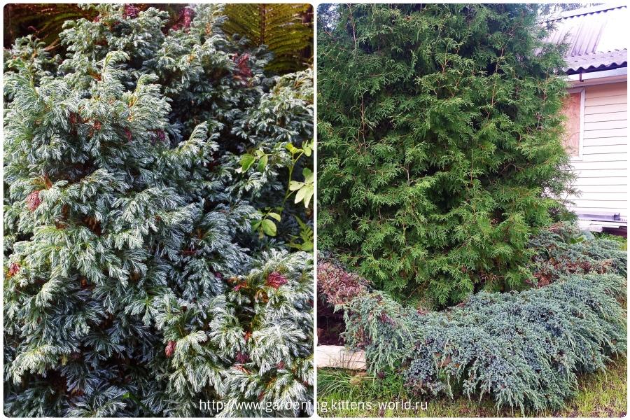 Чем обработать хвойные растения и можжевельник весной