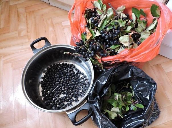Когда собирать черноплодную рябину для домашних заготовок