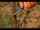Fidan ve Ağaç aşılama - Gaga Aşı, Dilcikli İngiliz Aşısı, Yarma Aşı (1) - 6. Bölüm