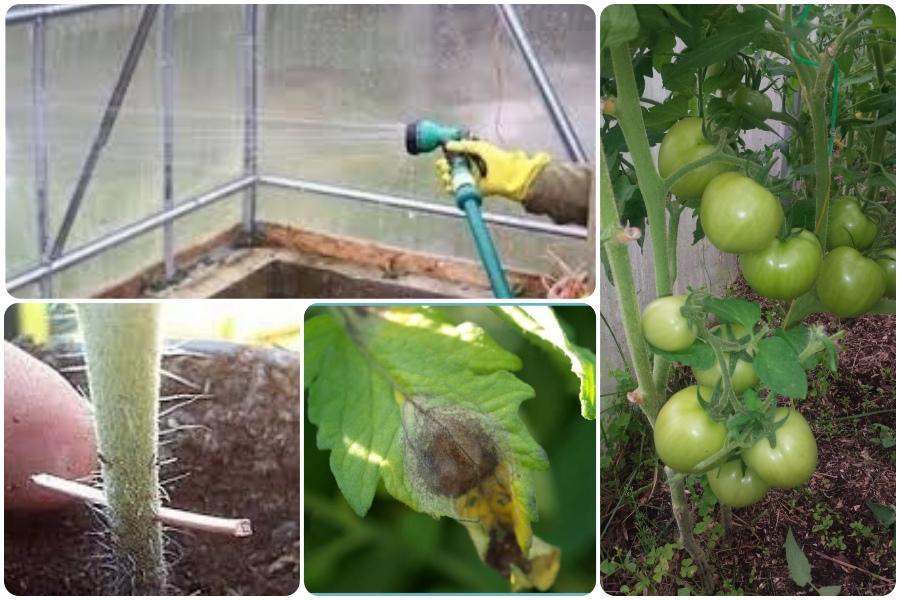 Как спасти помидоры, зараженные фитофторой??