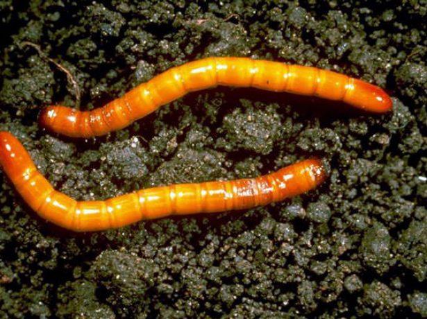 Червяки в луке: разбираемся, как спасти урожай