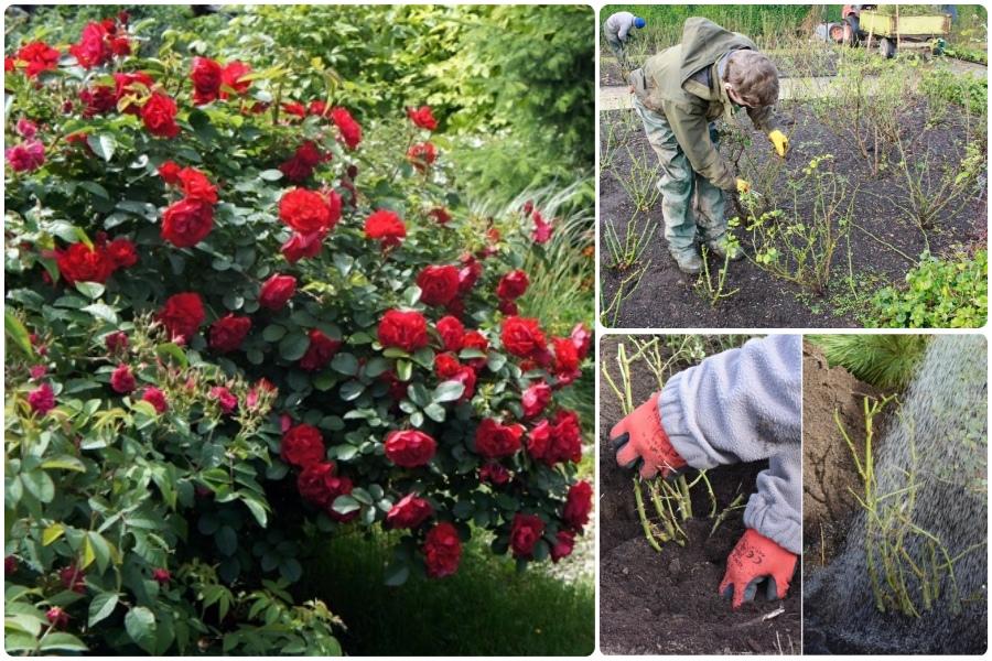 Посадка роз с открытыми корнями и из красочных коробок