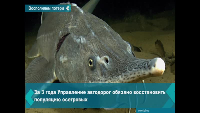 В Енисей выпустили 28 тысяч мальков сибирского осётра